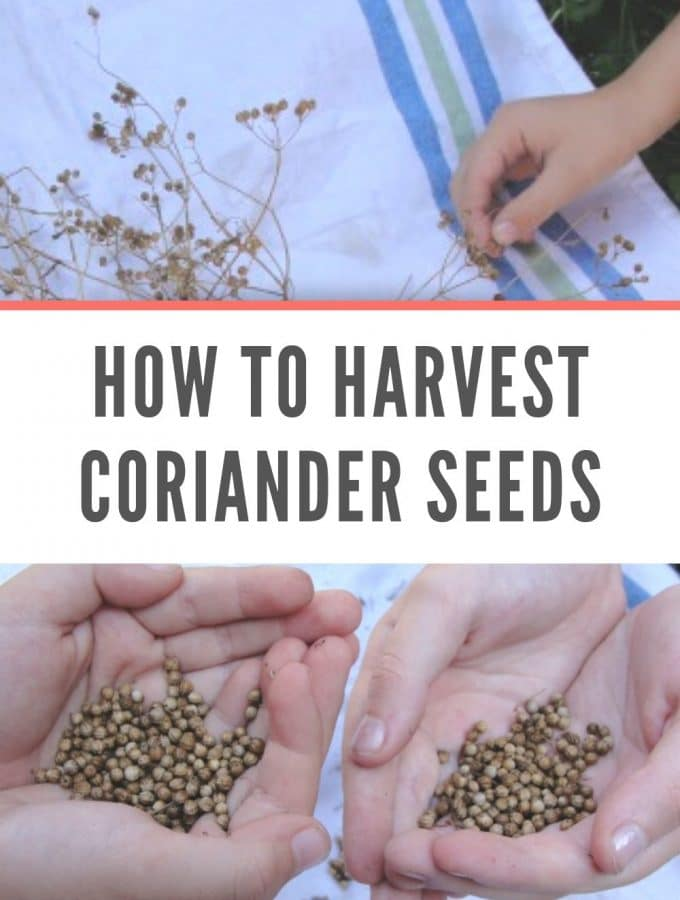 how to harvest coriander seeds
