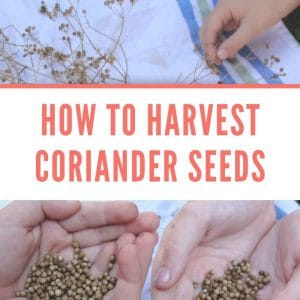 how to harvest coriander seeds and grow cilantro kids hands holding seeds