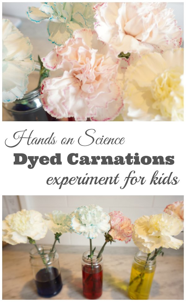 Dyed Carnation Science Experiment for Kids
