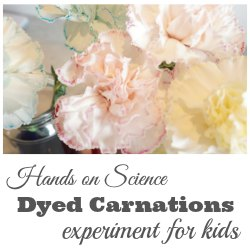 dyed carnations science experiment for kids