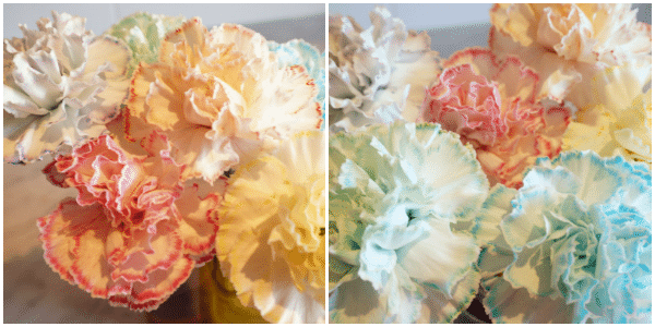 rainbow colourful carnations