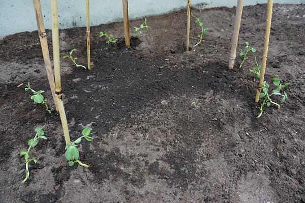 bean tee-pee planted