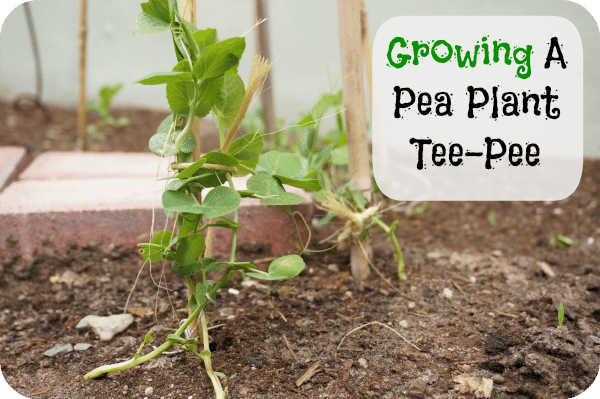 how to plant a pea plant tee-pee