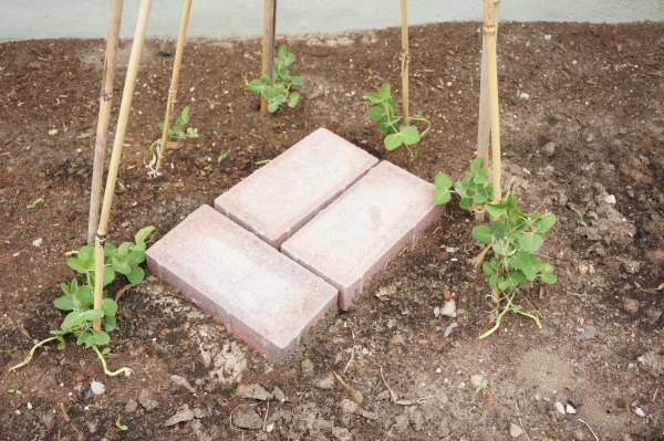pea plant tee pee with bricks