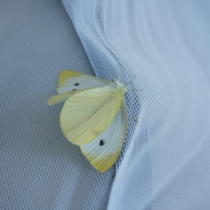 cabbage butterfly wings