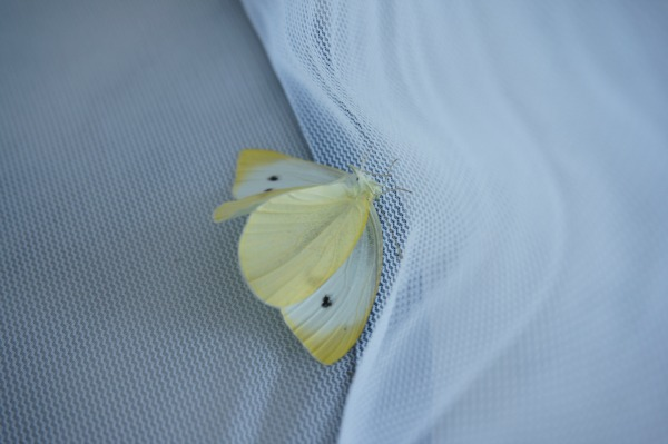 An Unexpected Summer Guest – Cabbage Butterfly