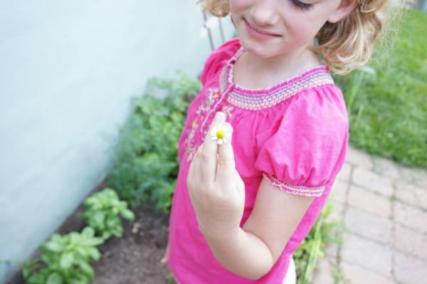 chamomile flower picked