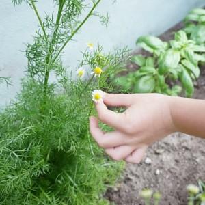 chamomile plant pinch