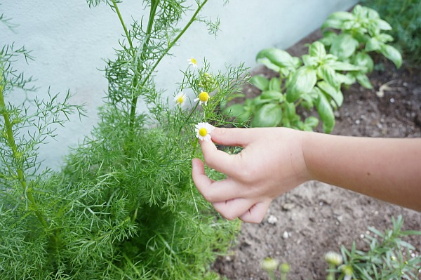 chamomile plant pinch