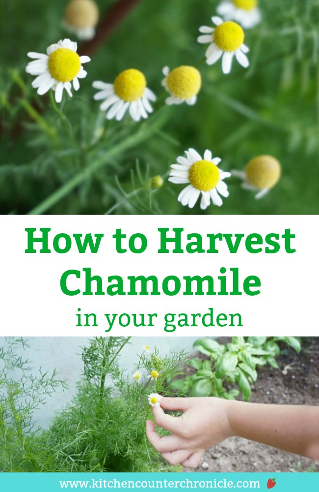 Time to harvest your chamomile? Follow these simple step-by-step instructions for how to harvest chamomile - knowing when to harvest and tips for how to dry the chamomile flower heads. It is so simple to do, the kids can help. #chamomile #growingchamomile #Chamomilecookie #harvestchamomile #diygarden #gardening #herbgarden #growingherbs #dryingherbs #chamomileflowers #chamomileplants #chamomileflowers