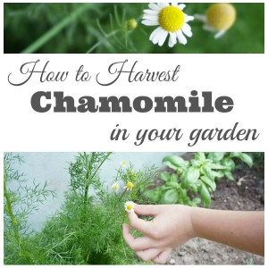 How to Harvest Chamomile