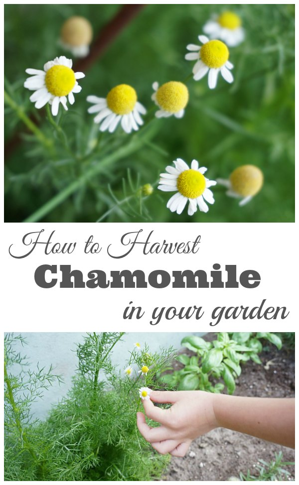 How to Harvest Chamomile - Tips and tricks for harvesting and drying chamomile