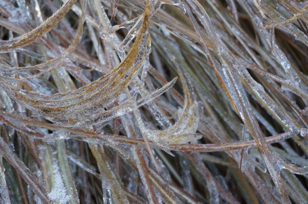 icy grasses