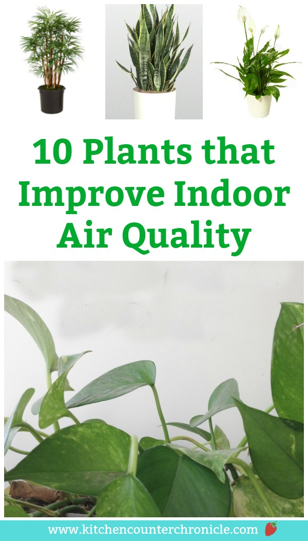 Did you know that house plants can clean the air in your house? Yep. A round up of 10 plants that improve indoor air quality. You can go out and pick up these plants at your local garden centre. #houseplants #environmentalscience #greenlivingtips #greenliving #eco #ecoliving #plants