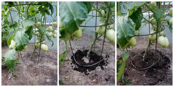 coffee grounds around tomato plant