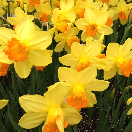 motherless on mother's day daffodil