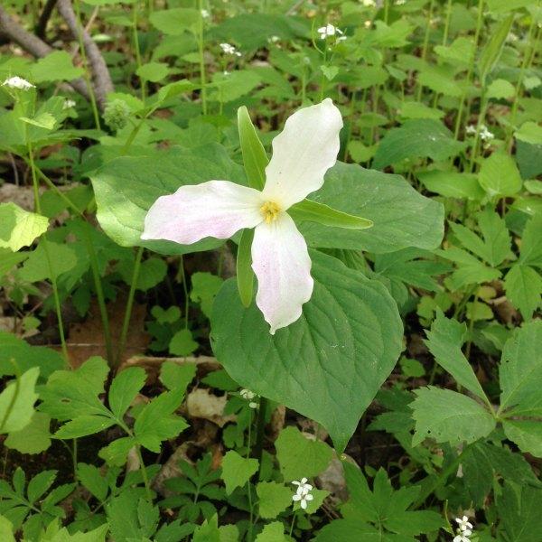 trillium in forest