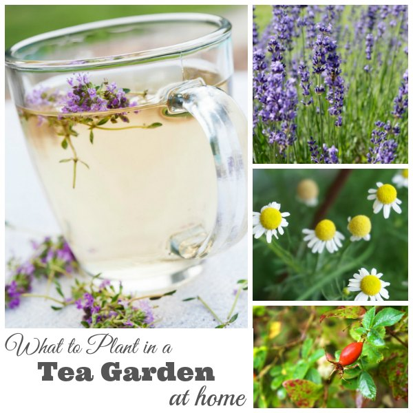 What to Plant in a Tea Garden fb