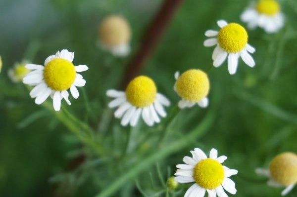 chamomile flower tea