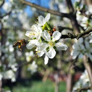 bee on fruit tree blossom