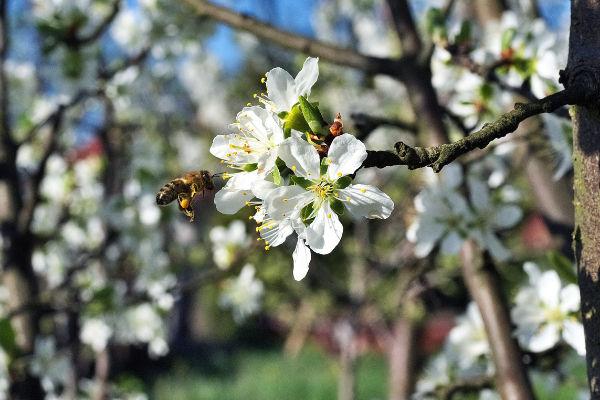 bee on fruit tree blossom