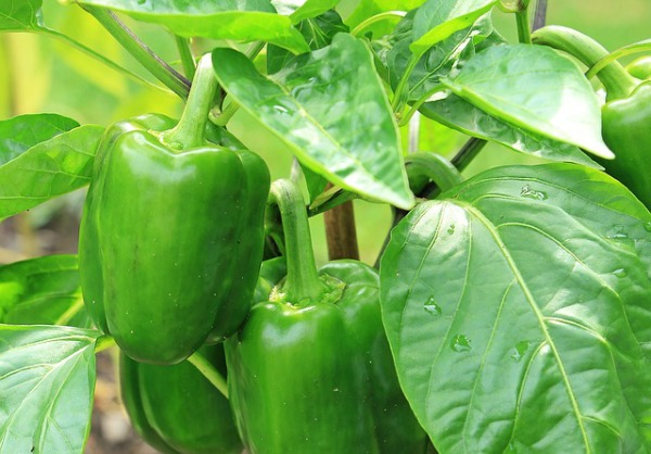 green bell pepper plant