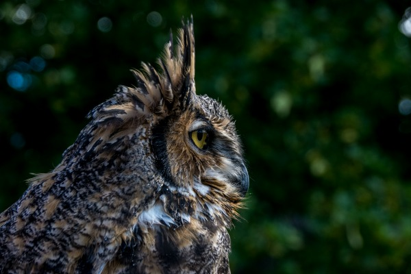 magical creatures owl