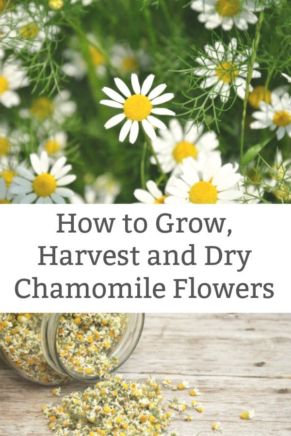 how to harvest chamomile and dry chamomile