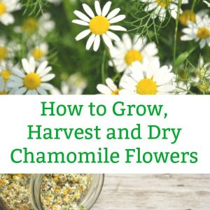 how to harvest chamomile and dry chamomile flowers