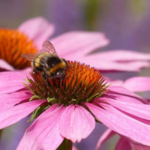 echinacea with bee garden