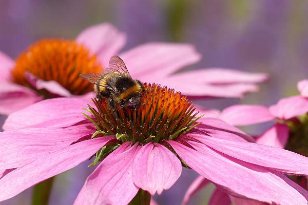 echinacea with bee garden