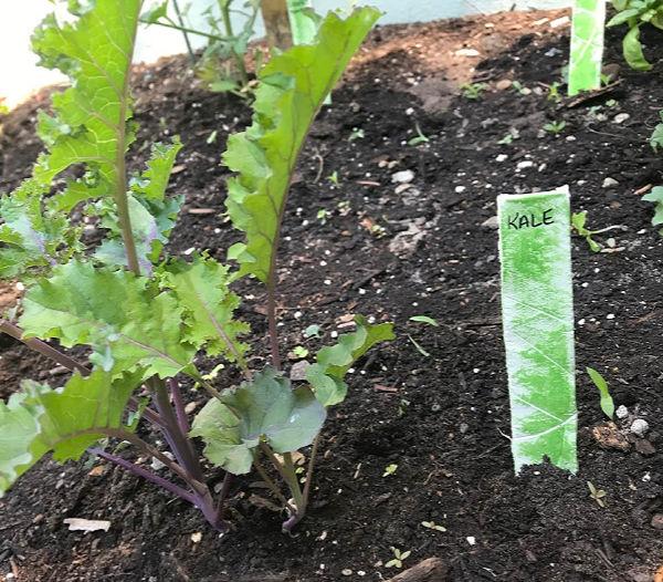 kale vegetable garden marker in garden