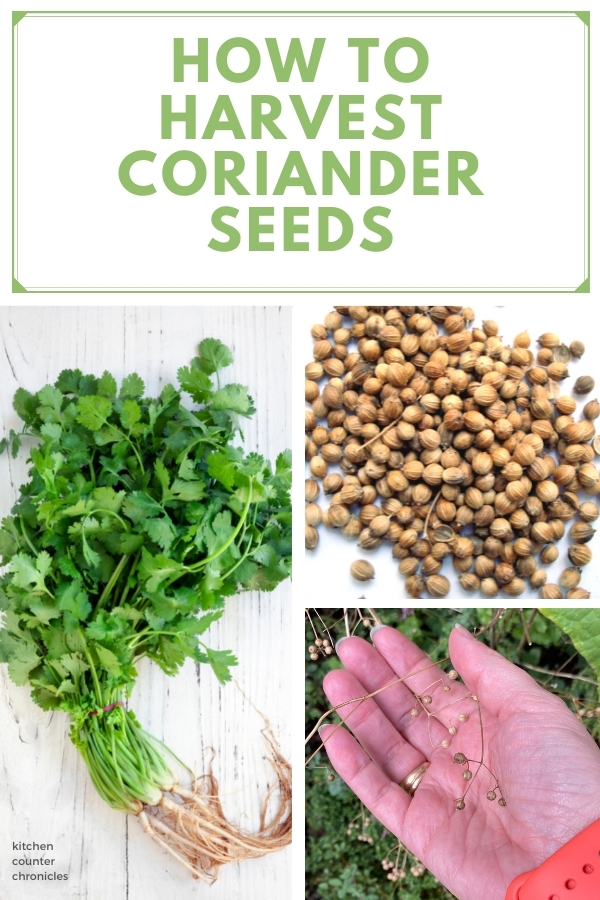 how to harvest coriander seeds title and cilantro plant