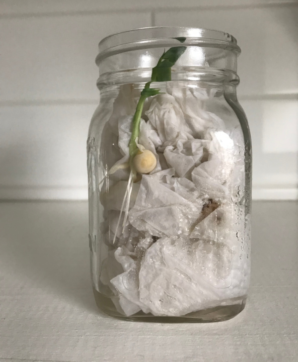 seed in jar with leaves emerging from paper towels at top of jar