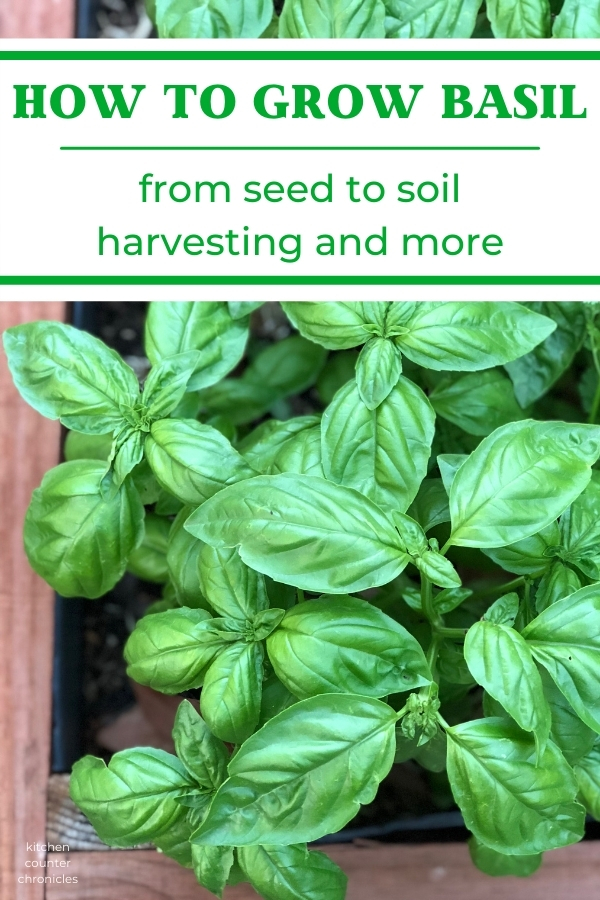 How to grow basil a garden full of basil and title