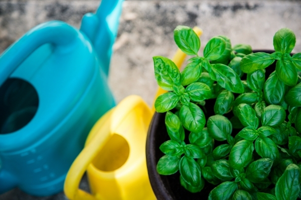 basil with watering cans
